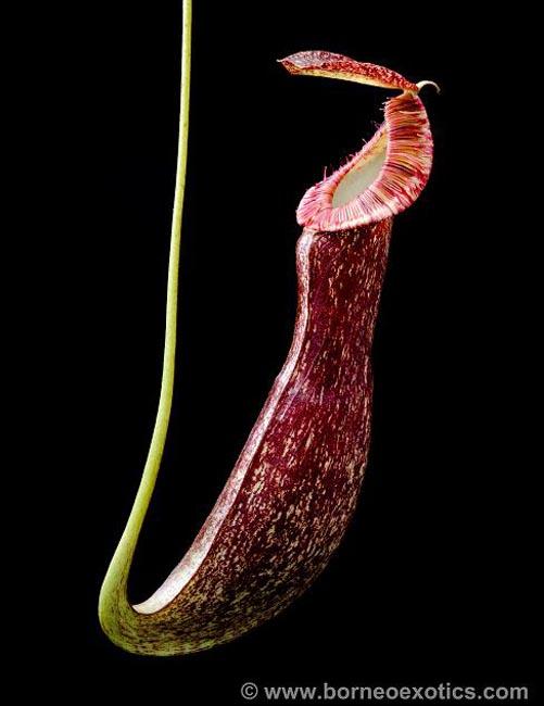 Nepenthes mirabilis var. echinostoma [ ネペンテス・ミラビリス var. エキノストマ ] 【 Borneo Exotics / BE-3372 】【 PN201014-01 】