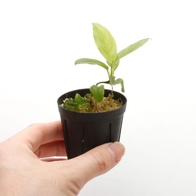 Philodendron aff. aurantiifolium [ フィロデンドロン aff. オウランティフォリウム ] 【 PN210330-19 】