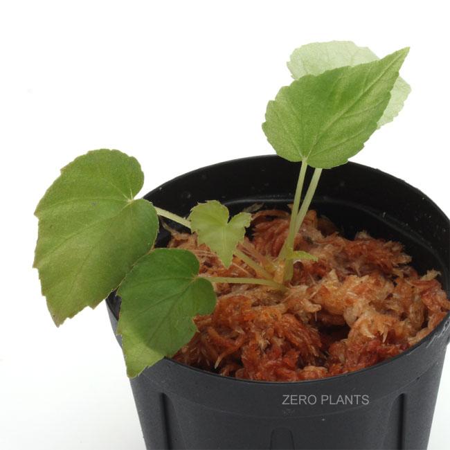 Begonia pavonina [ ベゴニア・パボニナ ] 1ポット 【 ブルーカラーが人気の原種ベゴニア 】
