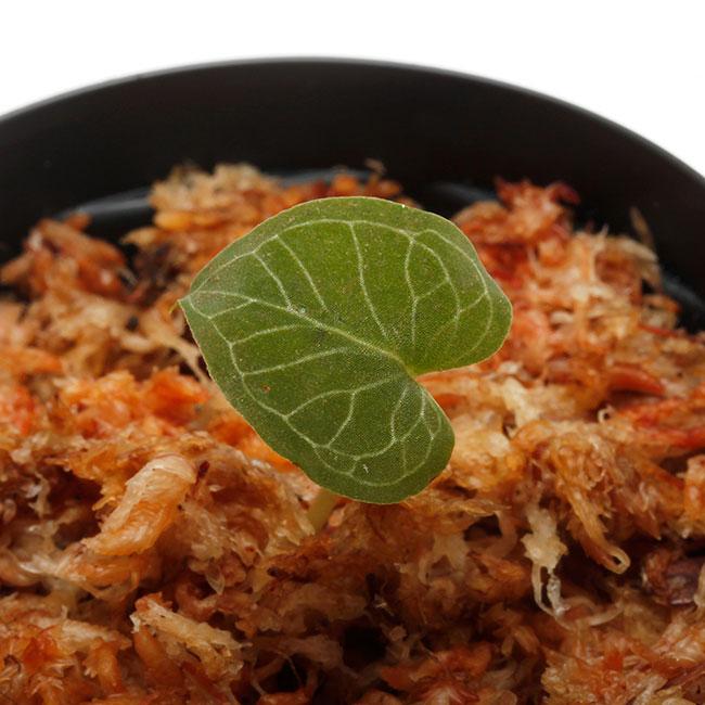 Corybas pictus [ コリバス・ピクタス ] 【 PN200124-14 】 【 奇怪で見ごたえのある花を咲かせる球根性小型地生蘭 】