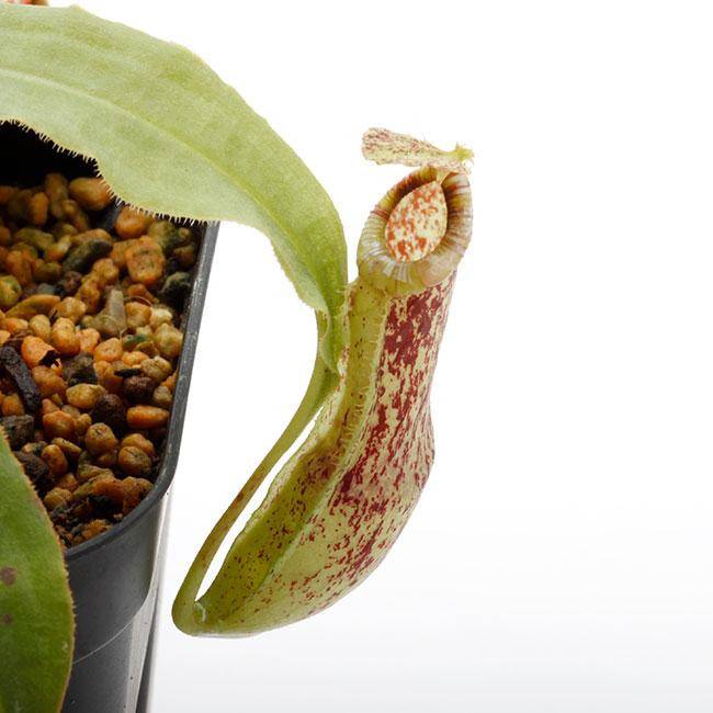 Nepenthes mirabilis var. echinostoma [ ネペンテス・ミラビリス var. エキノストマ ] 【 Borneo Exotics / BE-3372 】【 PN201014-02 】
