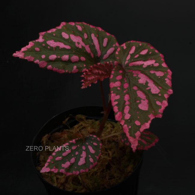 Begonia negrosensis [ ベゴニア・ネグロセンシス] 1ポット 【 ショッキングピンクが美しい定番人気種 】