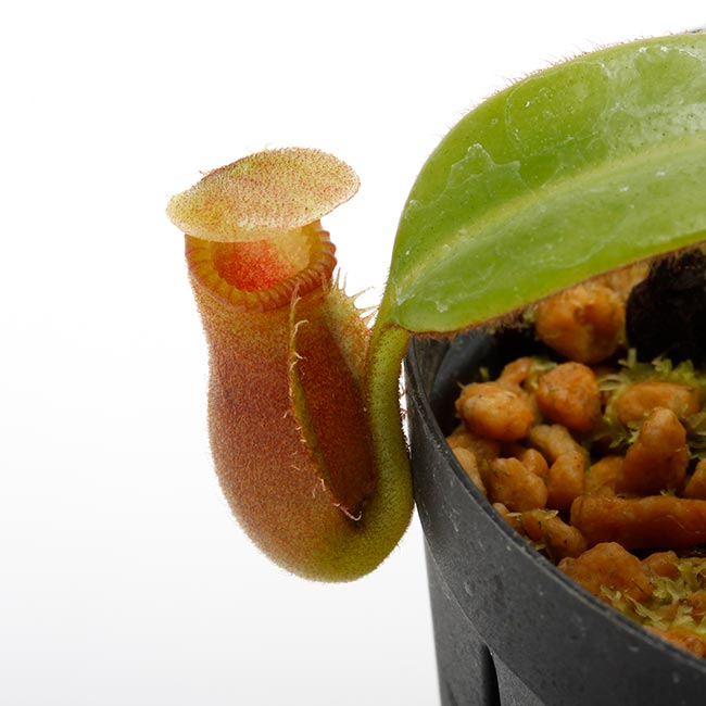 Nepenthes macrophylla [ ネペンテス・マクロフィラ ] 【 PN191018-02 】