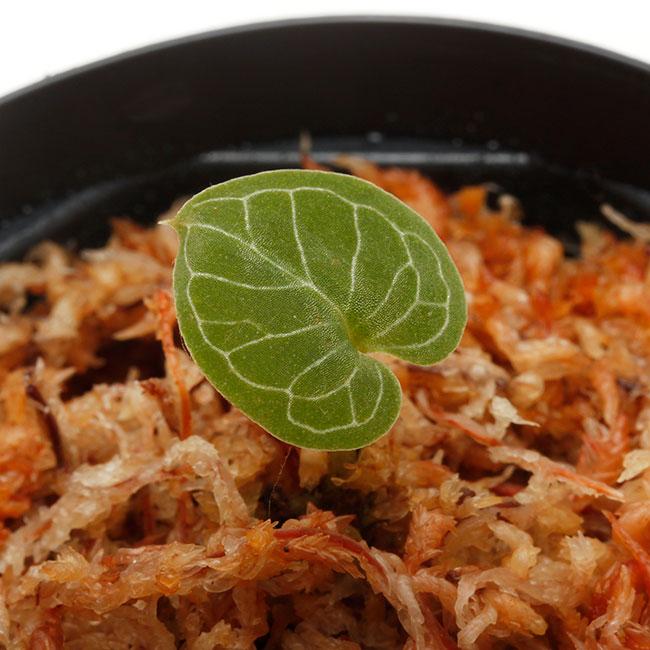 Corybas pictus [ コリバス・ピクタス ] 【 PN200124-15 】 【 奇怪で見ごたえのある花を咲かせる球根性小型地生蘭 】