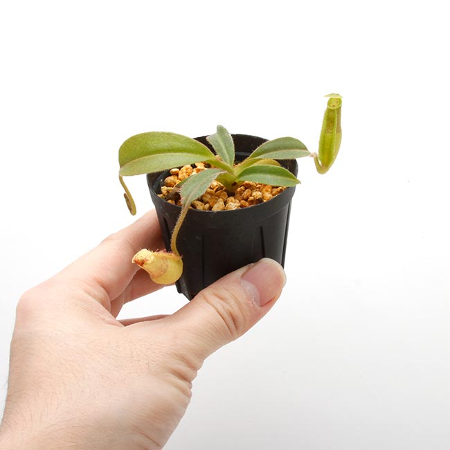 "Nepenthes maxima ""  Wavy-leaf "" [ ネペンテス・マキシマ ""ウェービーリーフ"" ] 【 Borneo Exotics / BE-3786 】【 PN200205-62 】"