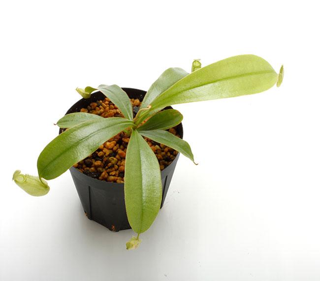 "Nepenthes ampullaria "" Irian Jaya "" [ ネペンテス・アンプラリア ""イリアンジャヤ "" ] 【 PN201014-03 】"