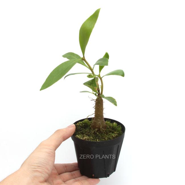 Hydnophytum moseleyanum [ ヒドノフィツム・モセレヤナム ] 【 PN180904-14 】