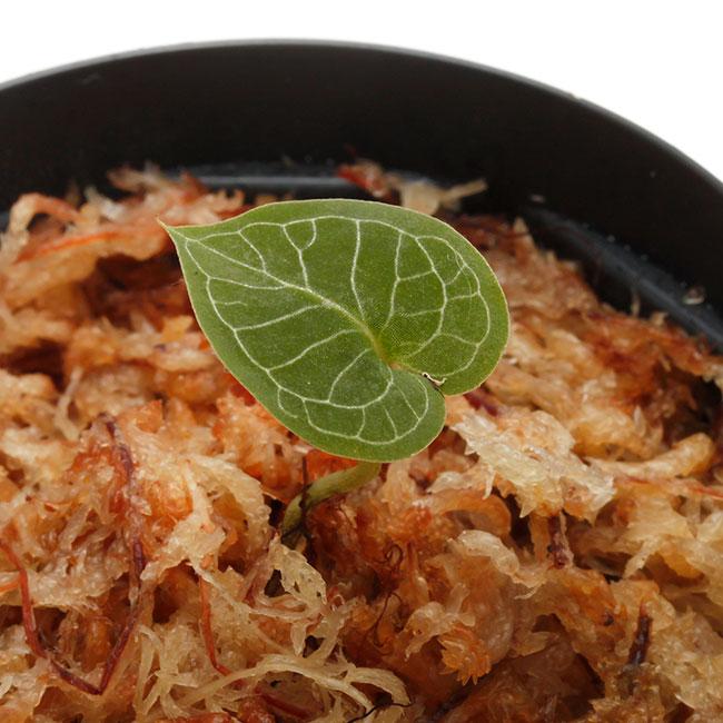 Corybas pictus [ コリバス・ピクタス ] 【 PN200124-16 】 【 奇怪で見ごたえのある花を咲かせる球根性小型地生蘭 】