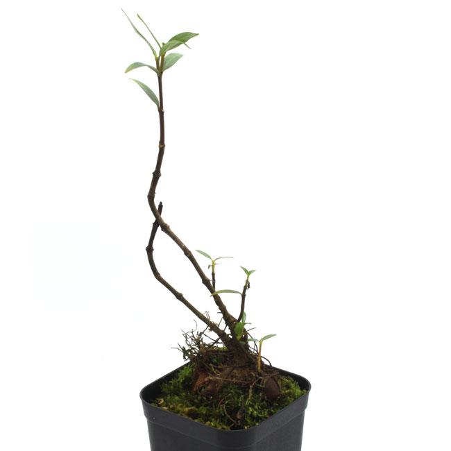 Hydnophytum ramispinum [ ヒドノフィツム・ラミスピナム ] 【 PN180615-07 】