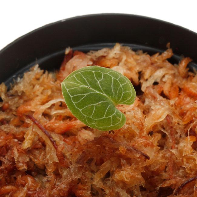 Corybas pictus [ コリバス・ピクタス ] 【 PN200124-17 】 【 奇怪で見ごたえのある花を咲かせる球根性小型地生蘭 】