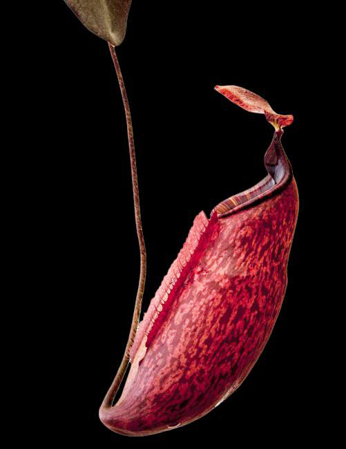 Nepenthes peltata [ ネペンテス・ペルタタ ] 【 Borneo Exotics / BE-3464 】【 PN200205-67 】