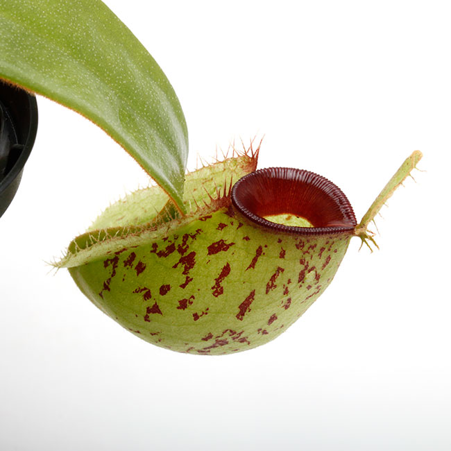 "Nepenthes ampullaria "" Spotted with Red Lip ""  [ ネペンテス・アンプラリア ] 【 PN201014-05 】"