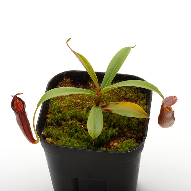 Nepenthes izumiae x inermis  [ ネペンテス・イズミアエ x イネルミス ] 【 PN210111-01 】