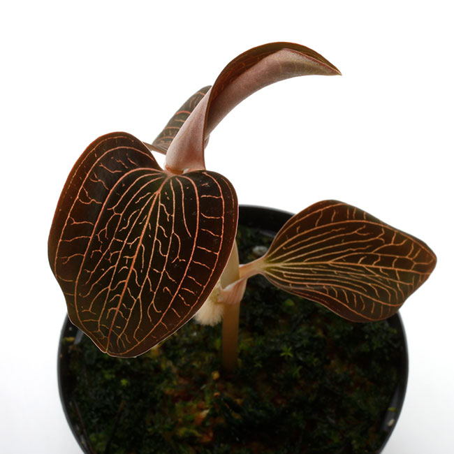 Anoectochilus sp. [ アネクトキルス sp. ] 【 PN210330-22 】 ( ジュエルオーキッド )