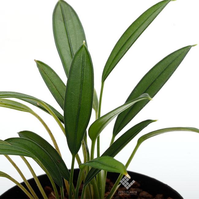 Aridarum sp. [ アリダルム sp. ] 【 PN181201-10 】