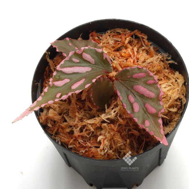 "Begonia sp. "" Julau "" [ R1214-01b ] [ ベゴニア sp. "" ジュラウ "" ] 1ポット"