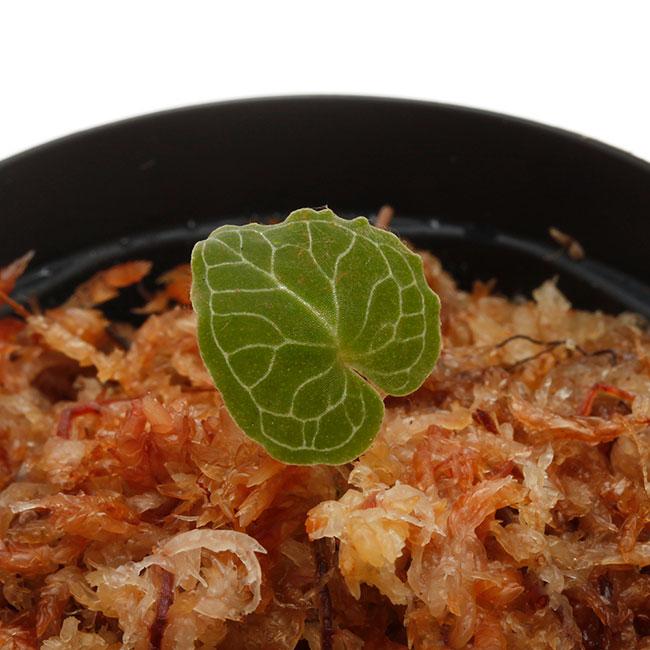 Corybas pictus [ コリバス・ピクタス ] 【 PN200124-18 】 【 奇怪で見ごたえのある花を咲かせる球根性小型地生蘭 】