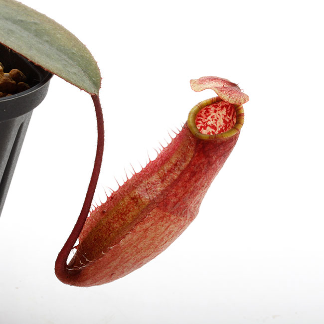 Nepenthes peltata [ ネペンテス・ペルタタ ] 【 Borneo Exotics / BE-3464 】【 PN200205-71 】