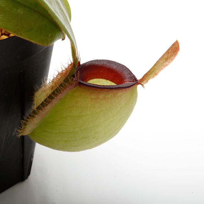 "Nepenthes ampullaria "" Red Lip ""  [ ネペンテス・アンプラリア ] 【 PN201014-06 】"
