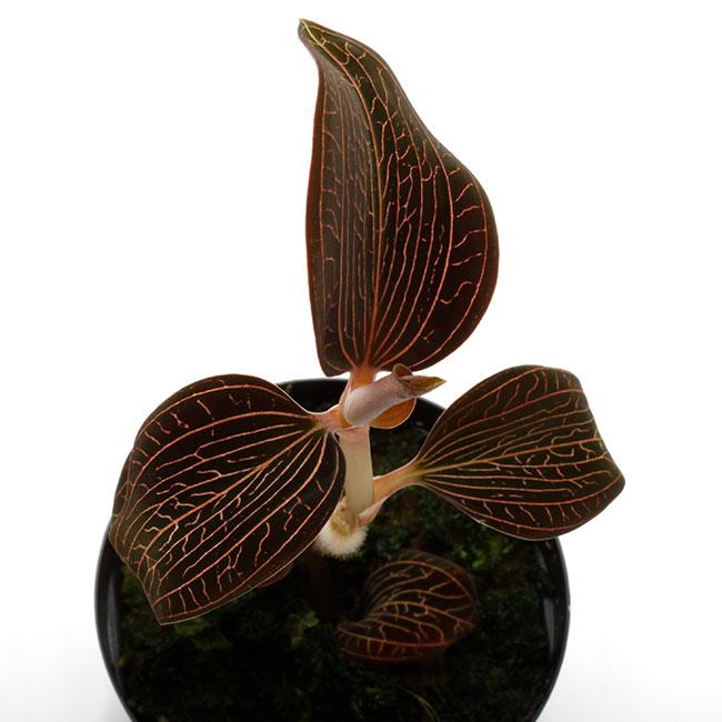 Anoectochilus sp. [ アネクトキルス sp. ] 【 PN210330-23 】 ( ジュエルオーキッド )