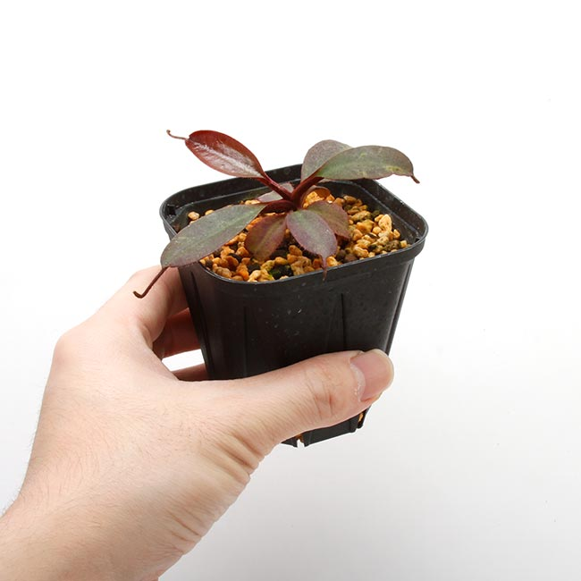 Nepenthes peltata [ ネペンテス・ペルタタ ] 【 Borneo Exotics / BE-3464 】【 PN200205-70 】