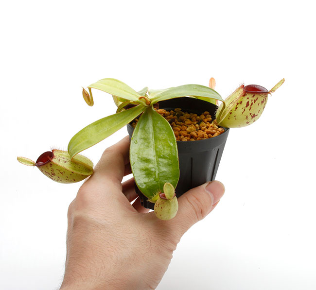 """Nepenthes ampullaria """" Spotted with Red Lip """"  [ ネペンテス・アンプラリア ] 【 PN201014-07 】"""