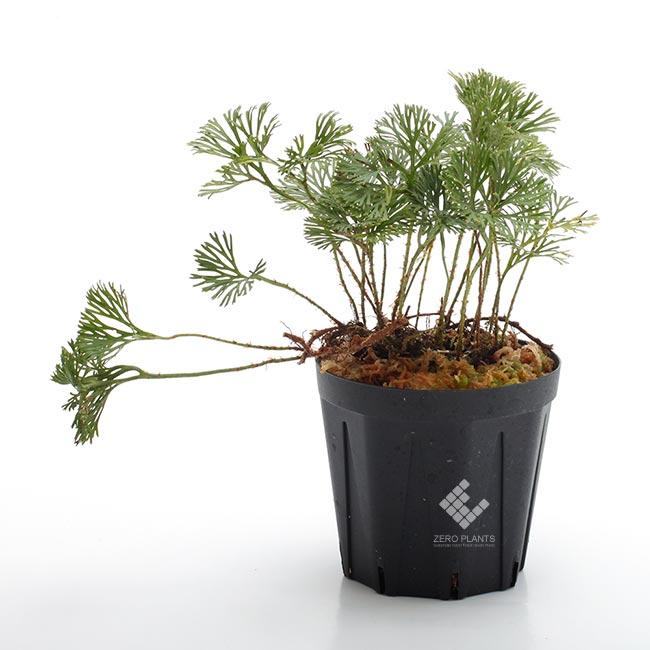 """Elaphoglossum peltatum """" Ecuador """" """" Type-A """" [ エラフォグロッサム・ペルタツム ] 【 PN190219-01 】"""