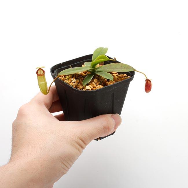 Nepenthes sibuyanensis x hamata [ ネペンテス・シブヤンエンシス×ハマタ ] 【 Borneo Exotics / BE-3562 】【 PN200205-32 】