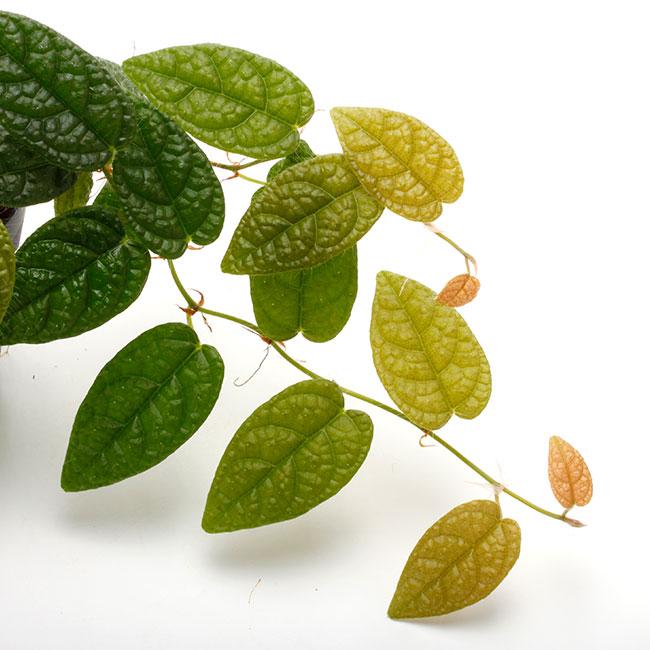 "Ficus sp. "" Irian Jaya, Papua "" [ フィカス sp.・イリアンジャヤ産 ] 1ポット"