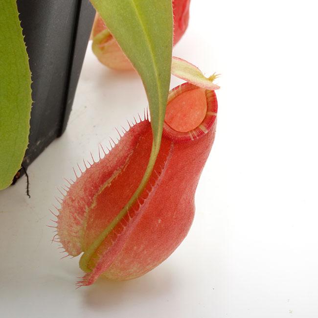 "Nepenthes mirabilis var. globosa x ampullaria "" Red with Candy lip ""  [ ネペンテス・ミラビリス var, グロボーサ × アンプラリア ""レッドウィズキャンディーリップ "" ] 【 PN201014-09 】"