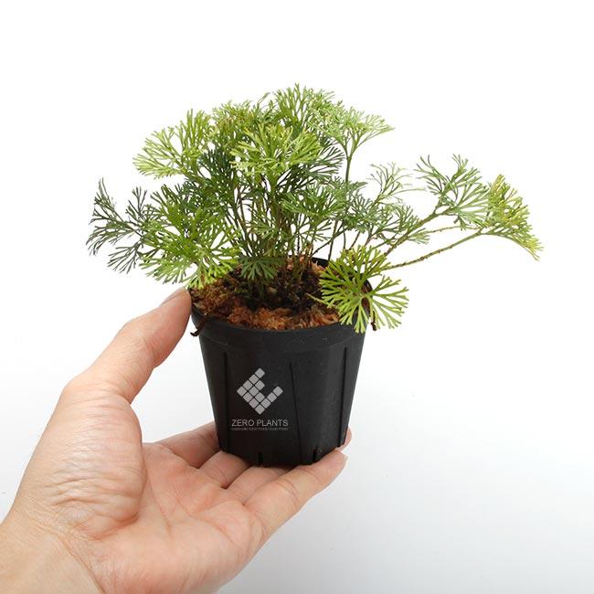 """Elaphoglossum peltatum """" Ecuador """" """" Type-A """" [ エラフォグロッサム・ペルタツム ] 【 PN190219-02 】"""
