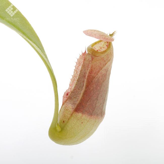 Nepenthes tenax [ ネペンテス・テナックス ] 【 PN190826-04 】 【 湿地帯に自生するオーストラリア固有のネペンテス 】