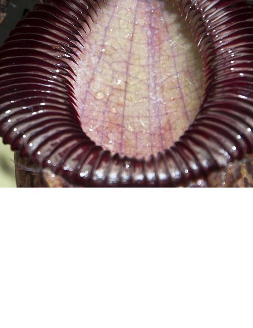 Nepenthes sibuyanensis x hamata [ ネペンテス・シブヤンエンシス×ハマタ ] 【 Borneo Exotics / BE-3562 】【 PN200205-31 】