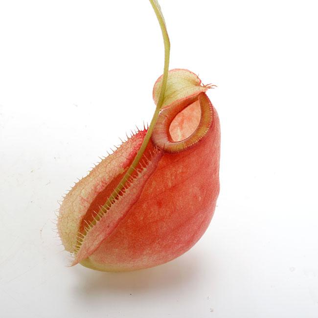 "Nepenthes mirabilis var. globosa x ampullaria "" Red with Candy lip ""  [ ネペンテス・ミラビリス var, グロボーサ × アンプラリア ""レッドウィズキャンディーリップ "" ] 【 PN201014-10 】"