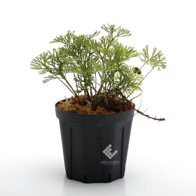 """Elaphoglossum peltatum """" Ecuador """" """" Type-A """" [ エラフォグロッサム・ペルタツム ] 【 PN190219-03 】"""