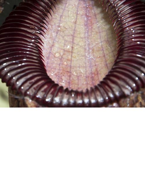 Nepenthes sibuyanensis x hamata [ ネペンテス・シブヤンエンシス×ハマタ ] 【 Borneo Exotics / BE-3562 】【 PN200205-30 】