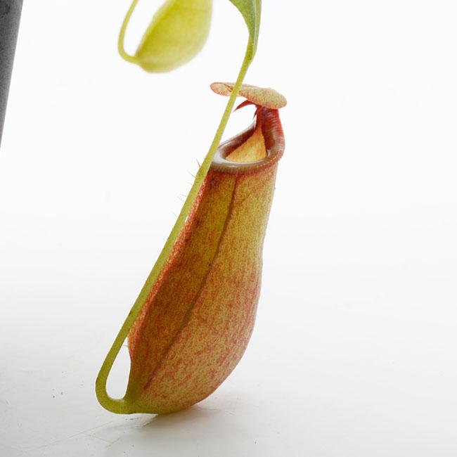 """Nepenthes bicalcarata """" Red × Orange """"  [ ネペンテス・ビカルカラタ """"レッド×オレンジ """" ] 【 PN201014-11 】"""