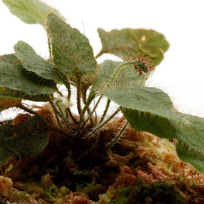 "Elaphoglossum sp. "" STRIPED / Light color "" [ エラフォグロッサム sp. "" ストライプ / ライトカラー "" ] 【 PN210114-17 】"