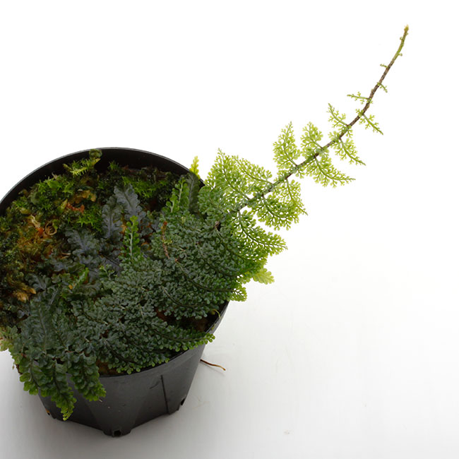 Teratophyllum rotundifoliatum [ テラトフィラム・ロタンディフォリアタム ] 【 PN210330-28 】