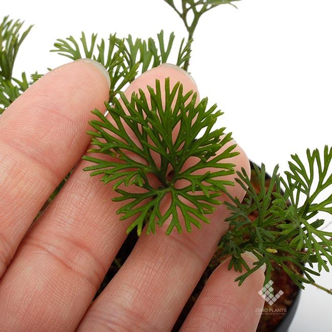 """Elaphoglossum peltatum """" Ecuador """" """" Type-A """" [ エラフォグロッサム・ペルタツム ] 【 PN190219-04 】"""