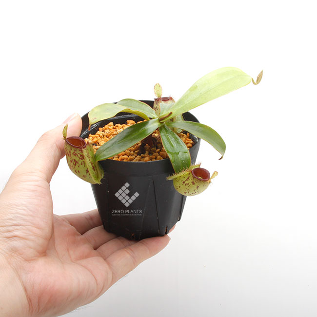 """Nepenthes ampullaria """" Spotted with Red Lip """"  [ ネペンテス・アンプラリア ] 【 PN190831-01 】"""