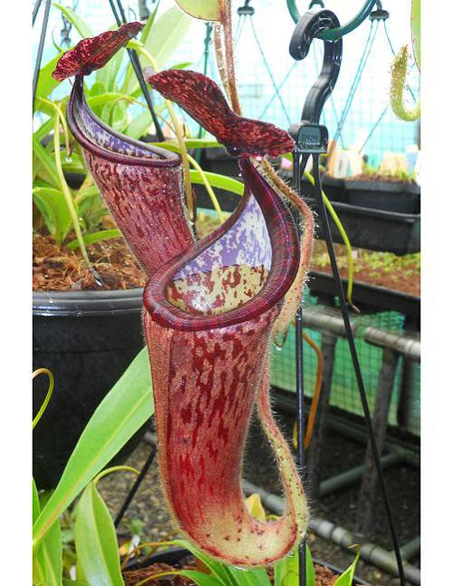 Nepenthes glandulifera [ ネペンテス・グランジュリフェラ ] 【 Borneo Exotics / BE-3766 】【 PN200205-79 】