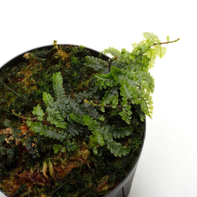 Teratophyllum rotundifoliatum [ テラトフィラム・ロタンディフォリアタム ] 【 PN210330-29 】