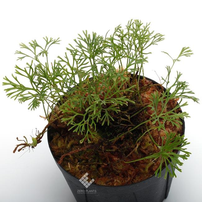 """Elaphoglossum peltatum """" Ecuador """" """" Type-B """" [ エラフォグロッサム・ペルタツム ] 【 PN190219-05 】"""