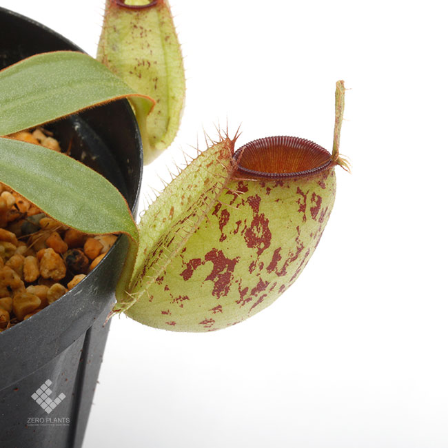 "Nepenthes ampullaria "" Spotted with Red Lip ""  [ ネペンテス・アンプラリア ] 【 PN190831-02 】"