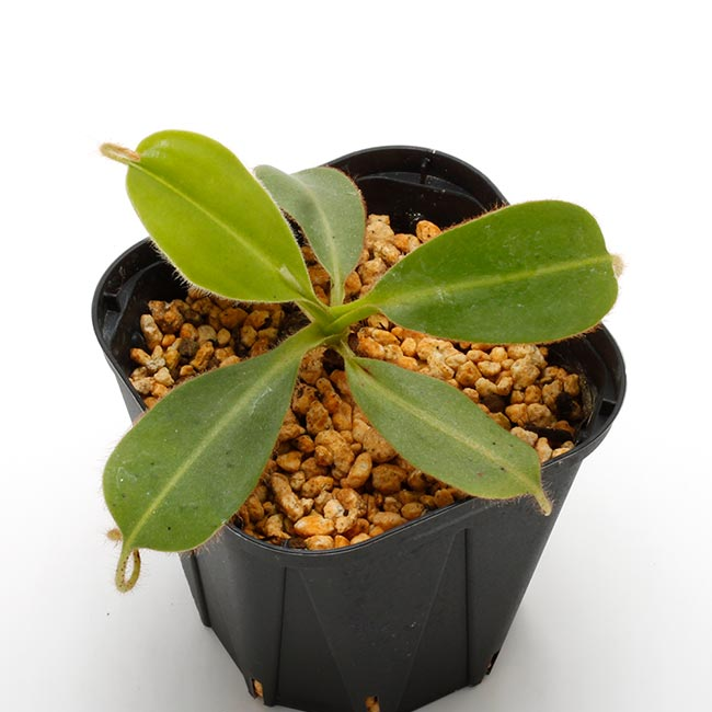 Nepenthes glandulifera [ ネペンテス・グランジュリフェラ ] 【 Borneo Exotics / BE-3766 】【 PN200205-81 】