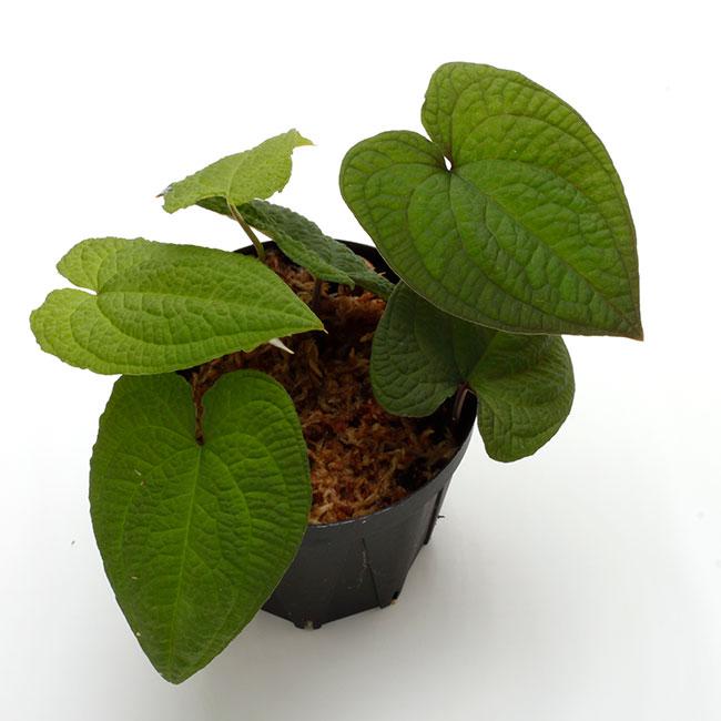 Anthurium clidemioides [ アンスリウム・クリデミオイデス ] 【 PN200830-03 】