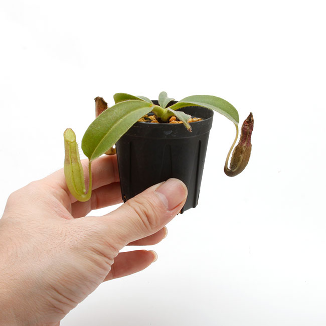 "Nepenthes maxima ""  Wavy-leaf "" [ ネペンテス・マキシマ ""ウェービーリーフ"" ] 【 Borneo Exotics / BE-3786 】【 PN200205-58 】"