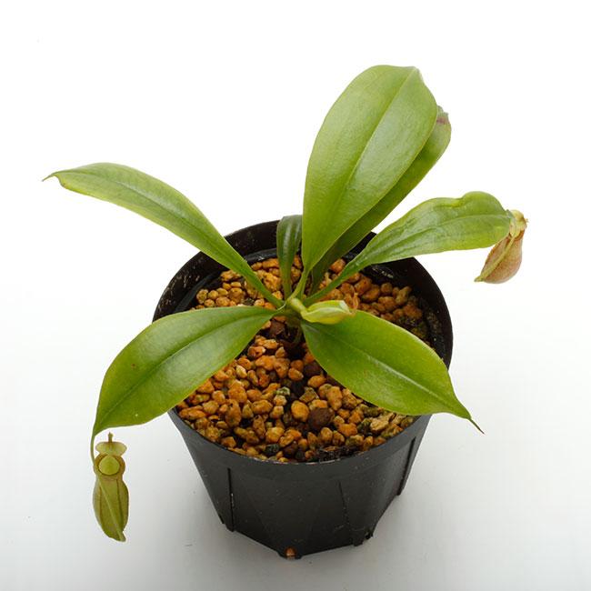 """Nepenthes bicalcarata """" Red × Orange """"  [ ネペンテス・ビカルカラタ """"レッド×オレンジ """" ] 【 PN210330-30 】"""