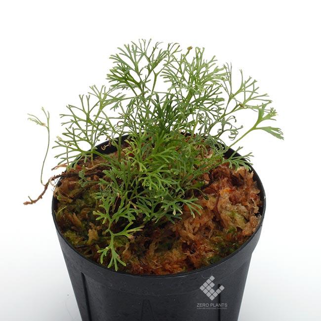 """Elaphoglossum peltatum """" Ecuador """" """" Type-B """" [ エラフォグロッサム・ペルタツム ] 【 PN190219-06 】"""